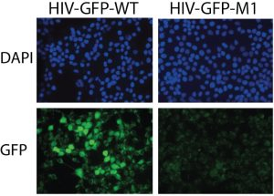 Representative images of the infectivity assay for the WT and a mutant. Image from Figure 6 Garcia-Miranda et al.,
