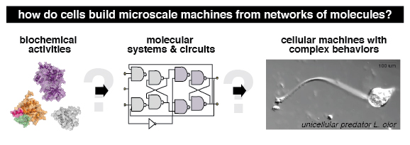 Image of how cells build microscale machines from networks of molecules