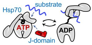 Cartoon of adenine nucleotide dependent cycle of Hsp70 interaction with substrate polypeptide.