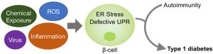 Cartoon of Defective UPR and ER stress in pancreatic beta cells contribute to the pathogenesis of autoimmune diabetes