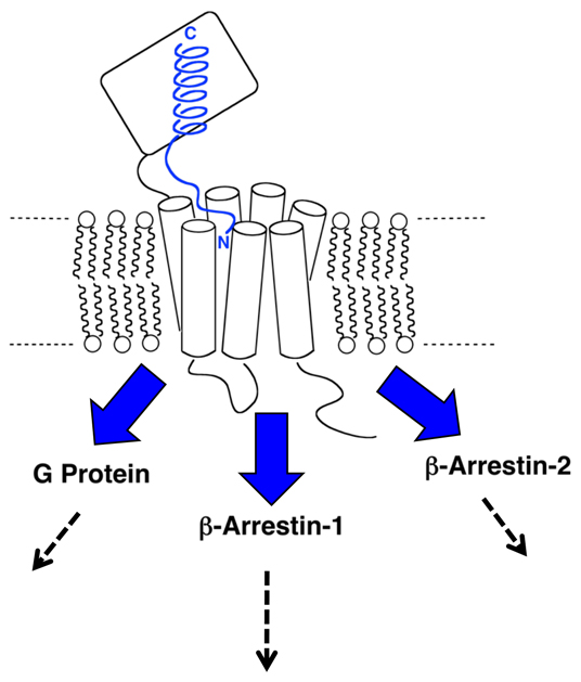 Cartoon showing a polypeptide hormone (blue) such as GLP-1 or PTH bound to a cognate B-family GPCR.