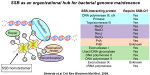 SSB as an organizational hub for bacterial genome maintenance