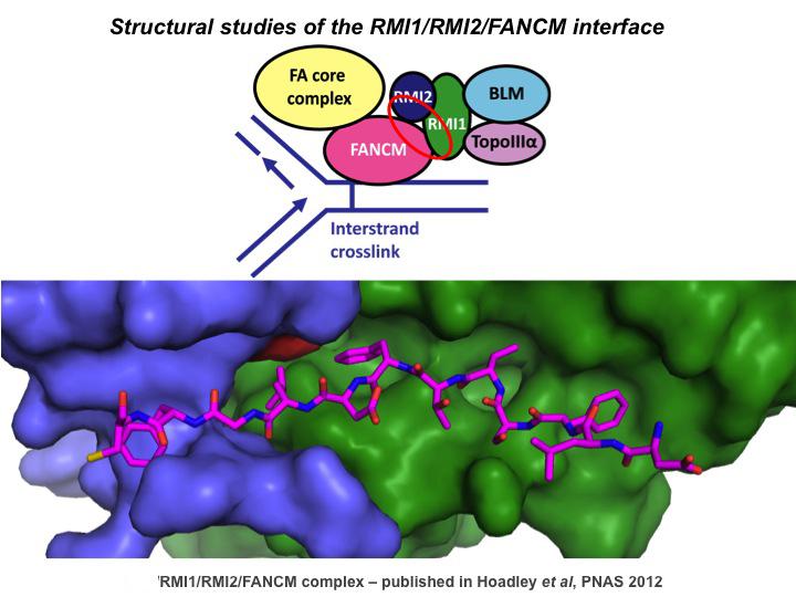 Structural studies of the RMI1/RMI2/FANCM interface