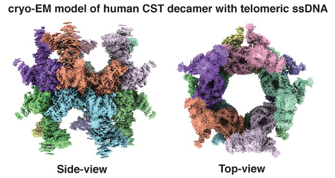 Cryo-EM model of human CST defamer with telomeric ssDNA