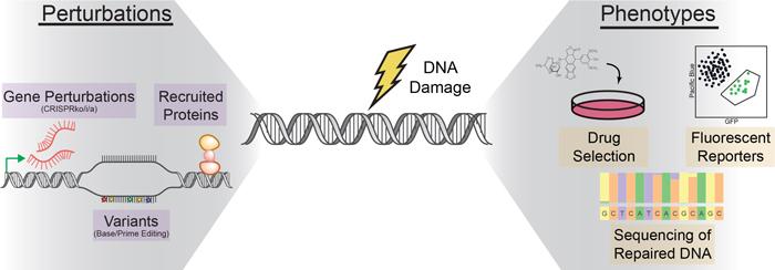 Investigating the regulation of DNA repair cartoon